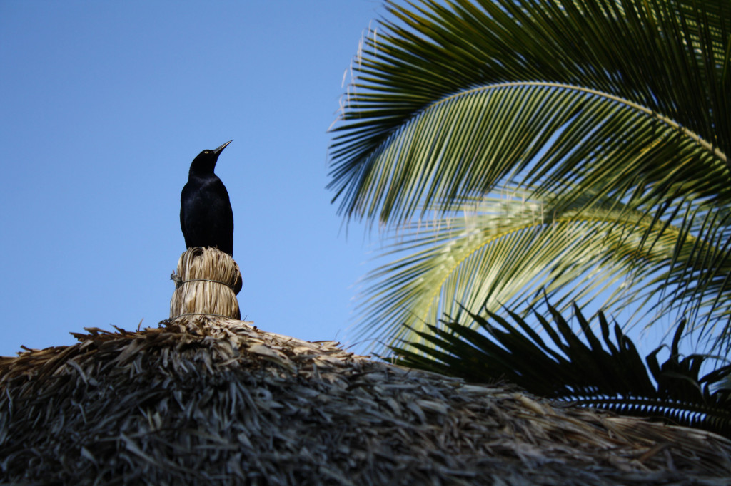 grackle in mexico