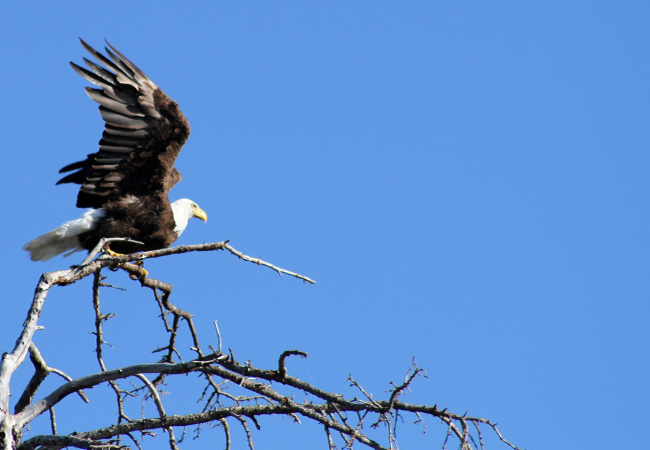 Saskatchewan eagle header